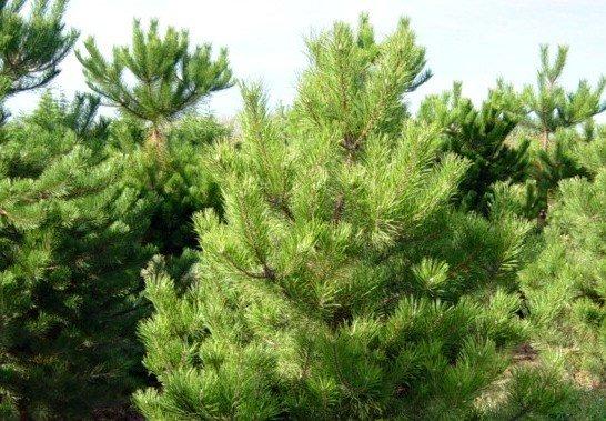Сосна черная – Дерево