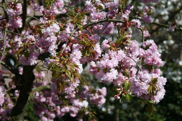 Черемуха мелкопильчатая Кику-Шидаре-Сакура
