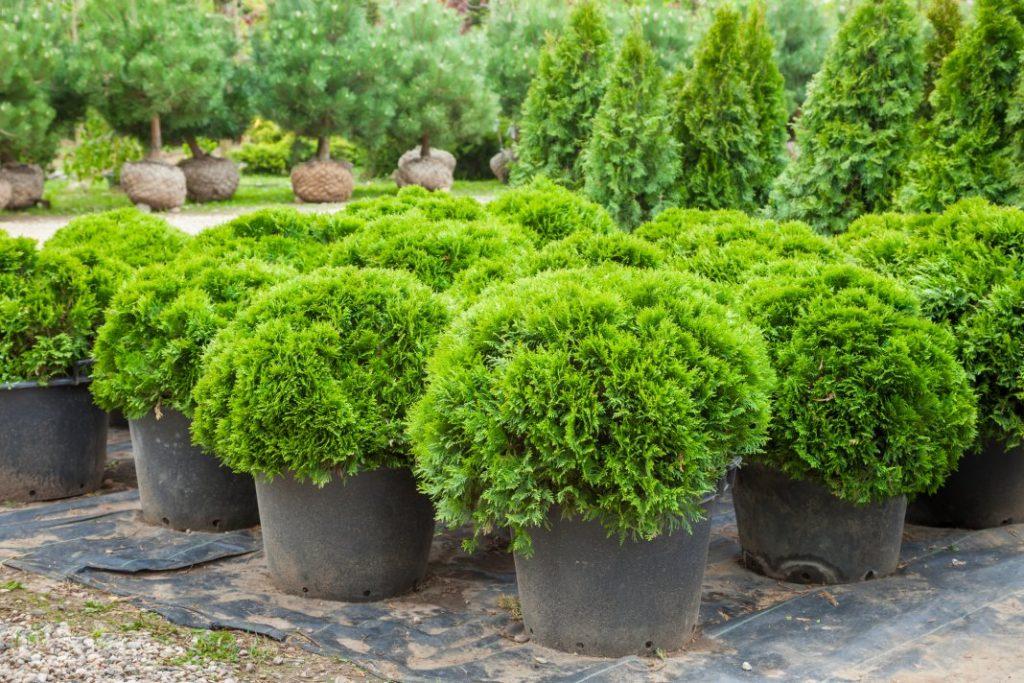 Покупка саженцев и многолетних растений в контейнерах