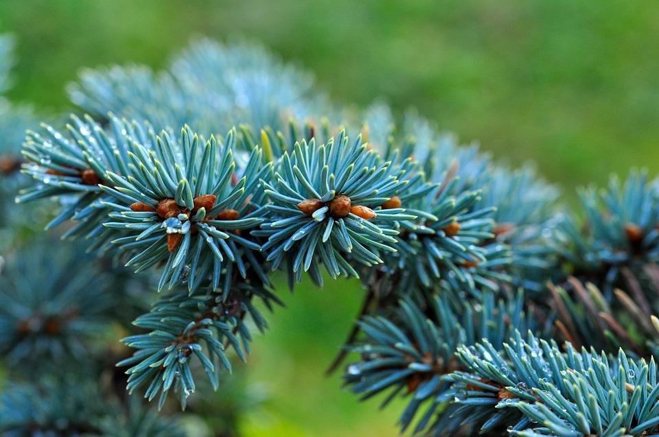 Голубая ель – яркий акцент на участке, который не меркнет в суровую зиму